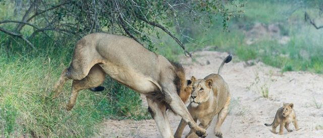 mother lion defends cub from male lion, signifying defending the innocent