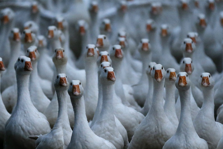 Geese gotta be goose-stepping