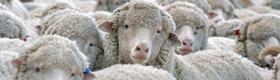 Like Sheeple
