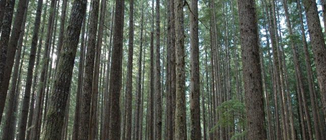 picture of forest which is just a bunch of trees